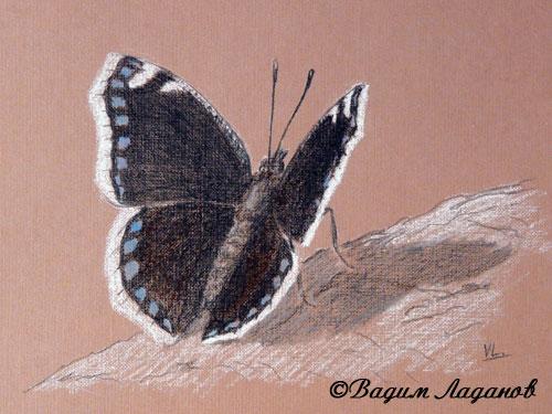 Эскиз бабочки Траурницы