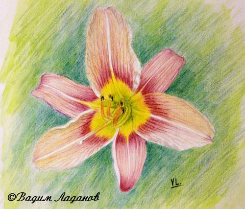 Дикая лилия