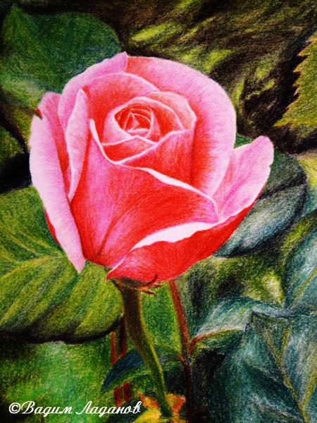 Роза в полисаднике