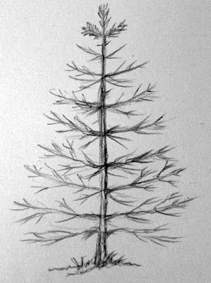 Как нарисовать ель