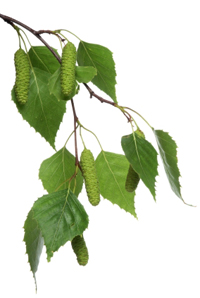 ветви березы