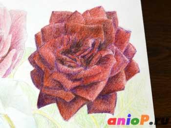 Как нарисовать розы цветными карандашами