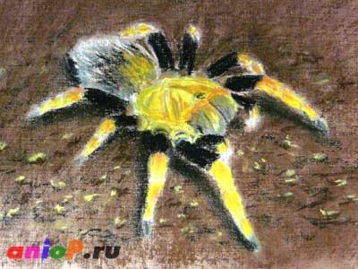 рисунок паука