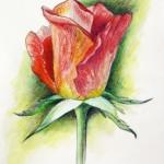 Мастер-класс по рисованию розы акварельными карандашами