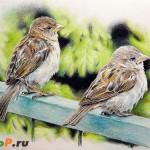 Рисунок воробьев цветными карандашами Derwent Artists