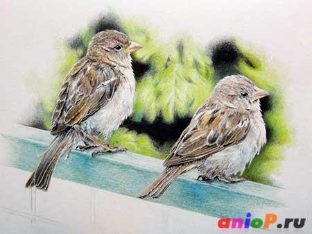 Рисунок воробьев цветными карандашами