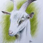 Портрет козы цветными карандашами