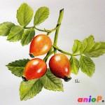 Рисуем ягоды шиповника акварельными карандашами