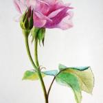 Роза цветными карандашами — доступ открыт!