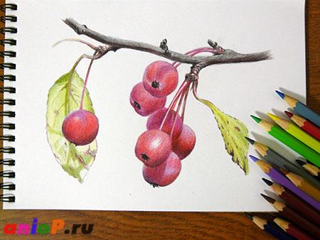 Рисунок ранеток цветными карандашами