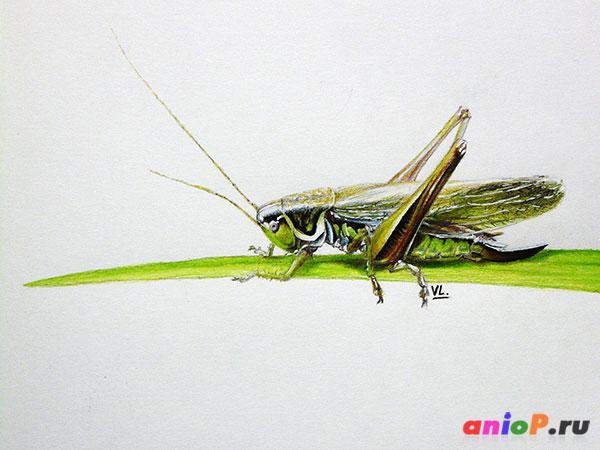 Рисунок кузнечика цветными карандашами