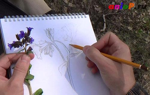 Эскиз медуницы простым карандашом
