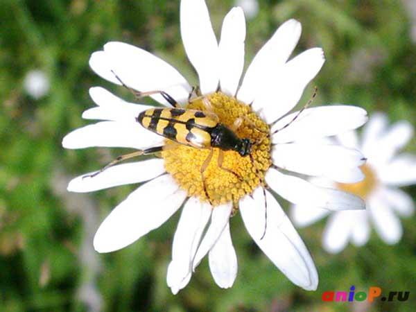 Leptura maculata
