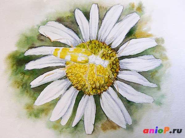 Рисунок ромашки акварельными карандашами