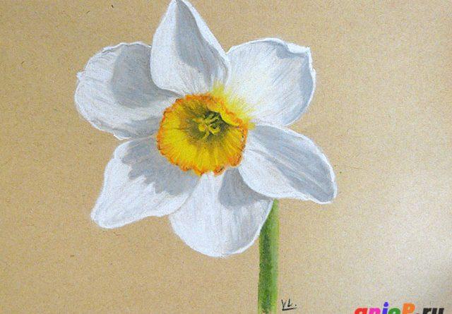 Нарцисс пастельными карандашами