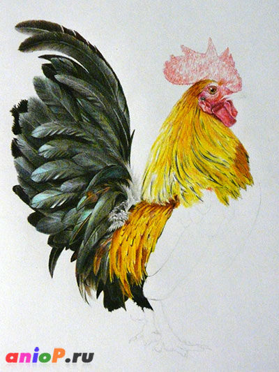 рисование петуха цветными карандашами