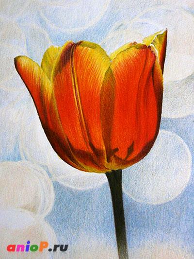 рисунок тюльпана цветными карандашами