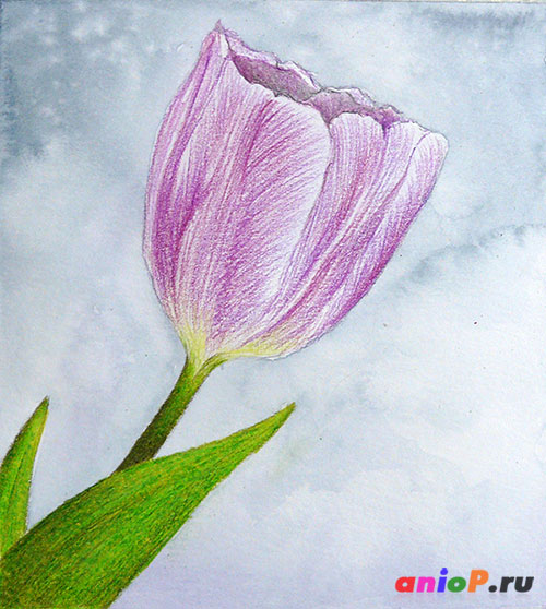 рисунок тюльпана