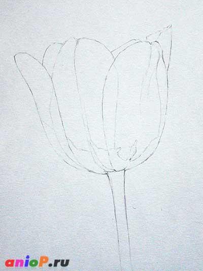 рисунок тюльпана карандашом