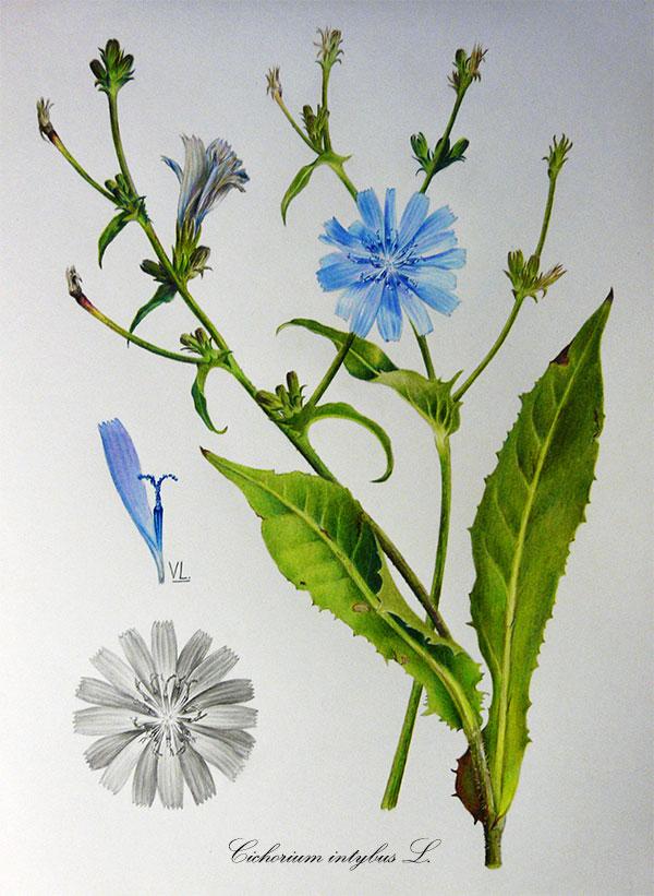 Ботаническая иллюстрация цикорий