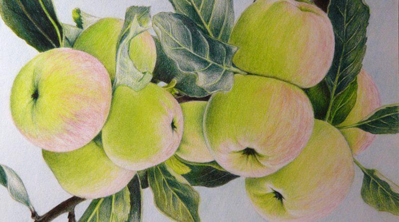 зеленые яблоки цветными карандашами