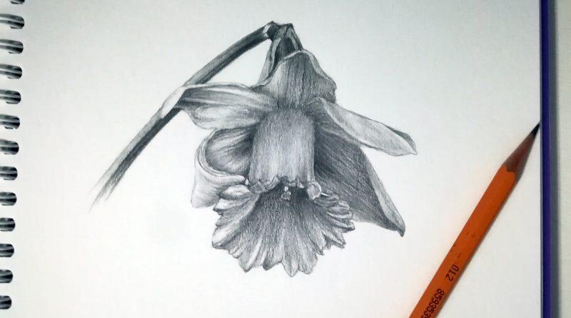 Рисунок нарцисса в простом карандаше