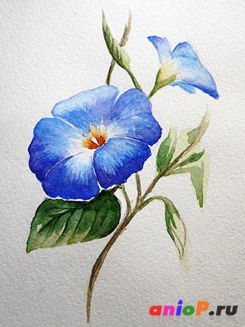 Цветок ипомеи акварелью