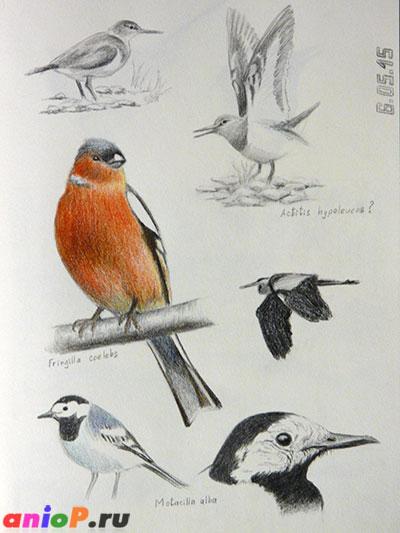 Птицы - наброски карандашом