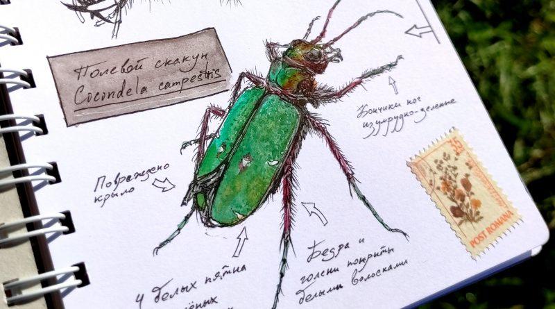 Скетч жука скакуна акварелью